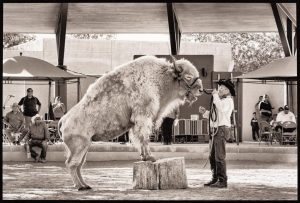 White Buffalo, New Mexico State Fair, 2012