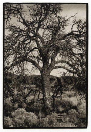 Tree, Santa Fe, New Mexico, 2009